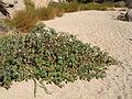 Sacred datura (Datura wrightii); Willow Hole.jpg