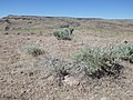 Sagebrush steppe (post- and pre-fire) above Mountain Home (9685511353).jpg