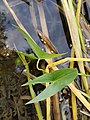 Sagittaria sagittifolia sl5.jpg