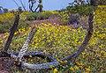 Saguaro Nat. Park (16147298236).jpg