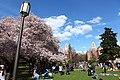 Sakura @ University of Washington, Seattle (7055922459).jpg