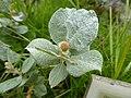 Salix lanata Cairn Gorm 02.jpg