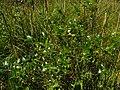 Salix pentandra IMG 4835^.jpg