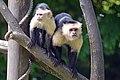 Sapajou Capucin (Zoo Amiens)2.JPG
