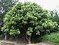 Sapindus saponaria var. saponaria (4999557990).jpg