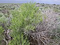 Sarcobatus vermiculatus (4049572213).jpg