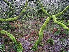 Scary wood near Amalveor (geograph 2756305).jpg