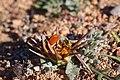 Scelophysa militaris (Scarabaeidae- Melolonthinae-Rutelinae- Hopliini) mating on Gazania leiopoda (Asteraceae) (37387404346).jpg