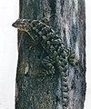 Sceloporus spinosus, Eastern spiny lizard, Tamaulipas.jpg