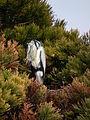 Schlafender Fischreiher auf Baum März 2013.JPG