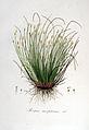 Scirpus caespitosus — Flora Batava — Volume v6.jpg