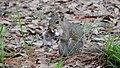Sciurus carolinensis (veverka popelavá) eating mushroom.jpg