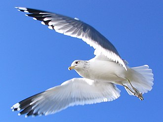 Miracle of the gulls - California Gull - Larus californicus