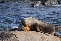 Sea Lions Ushuaia.JPG