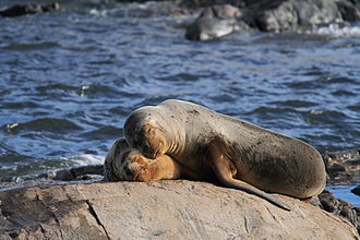 Ushuaia - Female sea lion and her pup