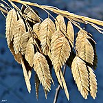 Sea Oats (And a Close Encounter) (6314087005).jpg