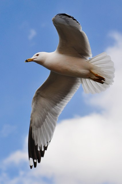 Seagull in flight by Jiyang Chen