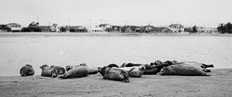 Alamitos Bay - Harbor seals at Alamitos Bay, photo from an old postcard.