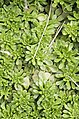 Sedum cepaea plant (35).jpg