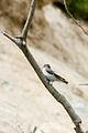 Semi-collared flycatcher Ficedula semitorquata (3497826766).jpg