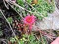 Sempervivum tectorum.jpg
