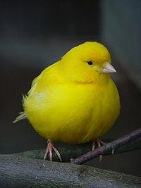 El canario doméstico 200px-Serinus_canaria_gelb