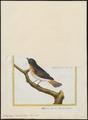 Setophaga tricolor - 1700-1880 - Print - Iconographia Zoologica - Special Collections University of Amsterdam - UBA01 IZ16300073.tif