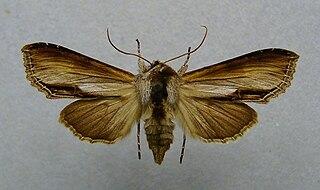 <i>Shargacucullia prenanthis</i> Species of moth