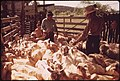 Sheared Sheep on a Ranch near Leakey, Texas, Awaiting Transport to a Slaughter House on Return to Pasture near San Antonio 05-1973 (3704385080).jpg
