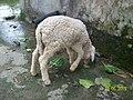 Sheep100 2731.jpg