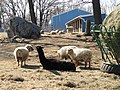 Sheep - Cummings School of Veterinary Medicine - North Grafton, MA - DSC04492.JPG