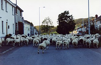 Cappagh, County Tyrone - Sheep in the village of Cappagh, 2004