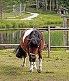 Shetland pony in Finland.jpg