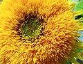 Shevchenko park Kyiv sunflower1.JPG