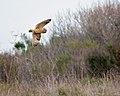 Short-eared Owl (50908759388).jpg
