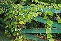 Sicyos angulatus 5zz.jpg