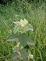 Sida cordifolia 2.jpg