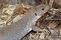 Sierra Nevada Lizard (Timon nevadensis) female (found by Jean NICOLAS) (36419710642).jpg