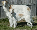 Silken Windhound and Borzoi (Kal tyler).jpg