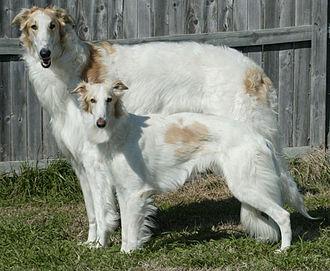 Silken Windhound - A Silken and a larger Borzoi.