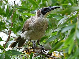 Silver-crowned Friarbird 2638.jpg