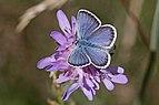 Silver-studded blue (Plebejus argus) male Sweden.jpg
