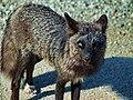 Silver Fox -Yukon Territory-8.jpg