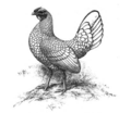 Silver Sebright hen - Standard of Perfection 1905.png