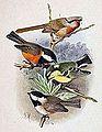 Sinosuthora przewalskii & Poecile hypermelaenus & Pardaliparus venustulus & Poecile davidi 1891.jpg