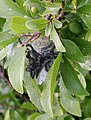 Sleedoorn Prunus spinosa Hyponomeuta rupsen.jpg