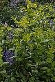 Smyrnium perfoliatum (Apiaceae) and Hyacinthoides × massartiana (Asparagaceae) (27333682341).jpg