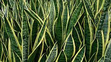 Snake Plant (Sansevieria trifasciata 'Laurentii').jpg