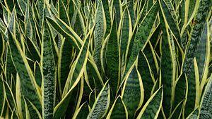 Sansevieria trifasciata - A variegated cultivar,  Sansevieria trifasciata 'Laurentii'