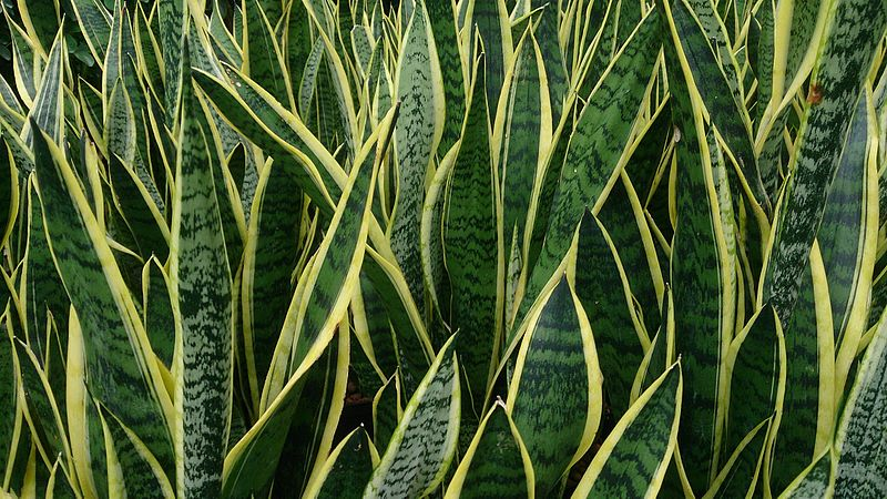 File:Snake Plant (Sansevieria trifasciata 'Laurentii').jpg